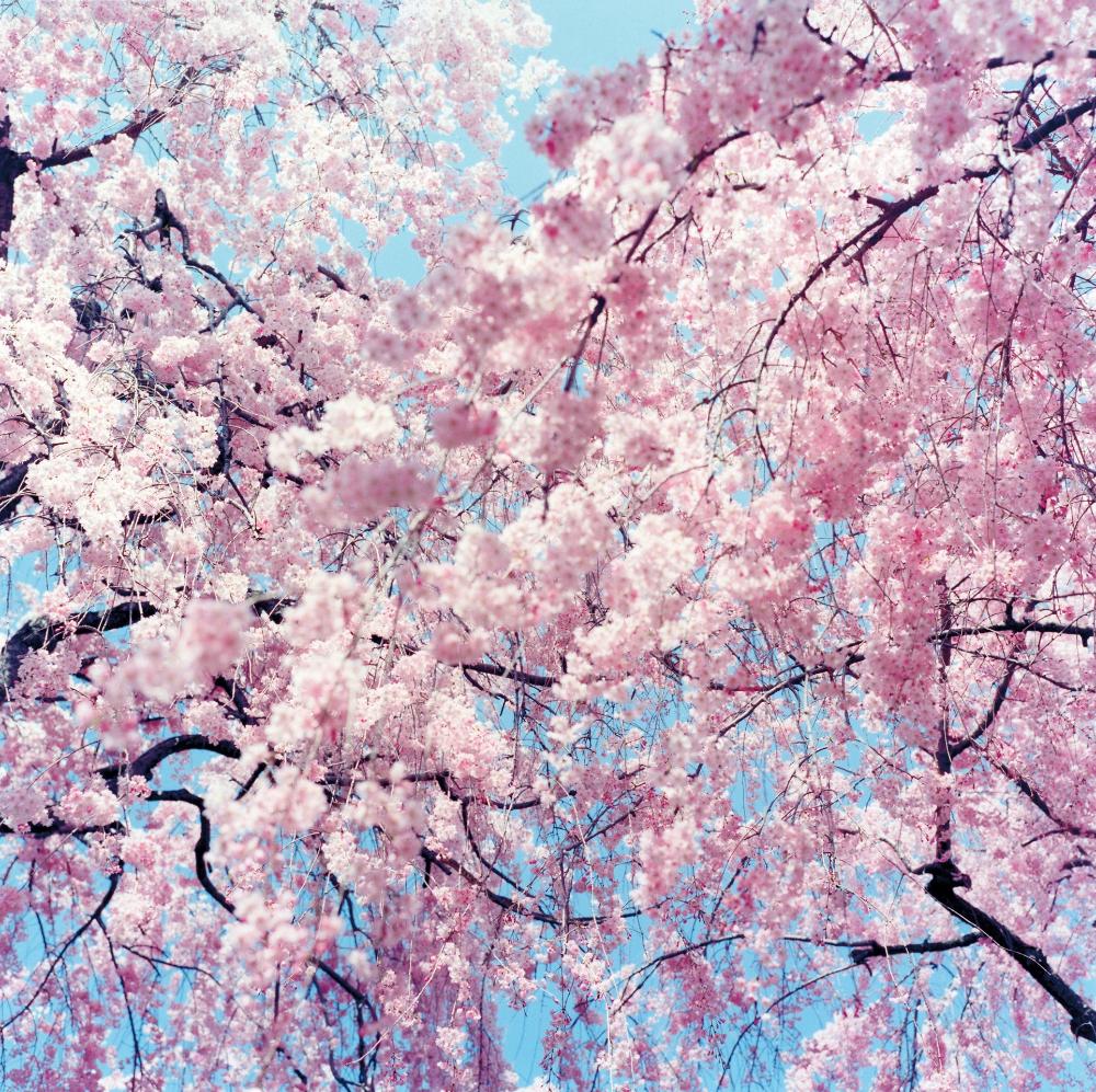 Japan In Bloom Published 2019 Rinko Kawauchi Cherry Blossom Cherry Blossom Japan
