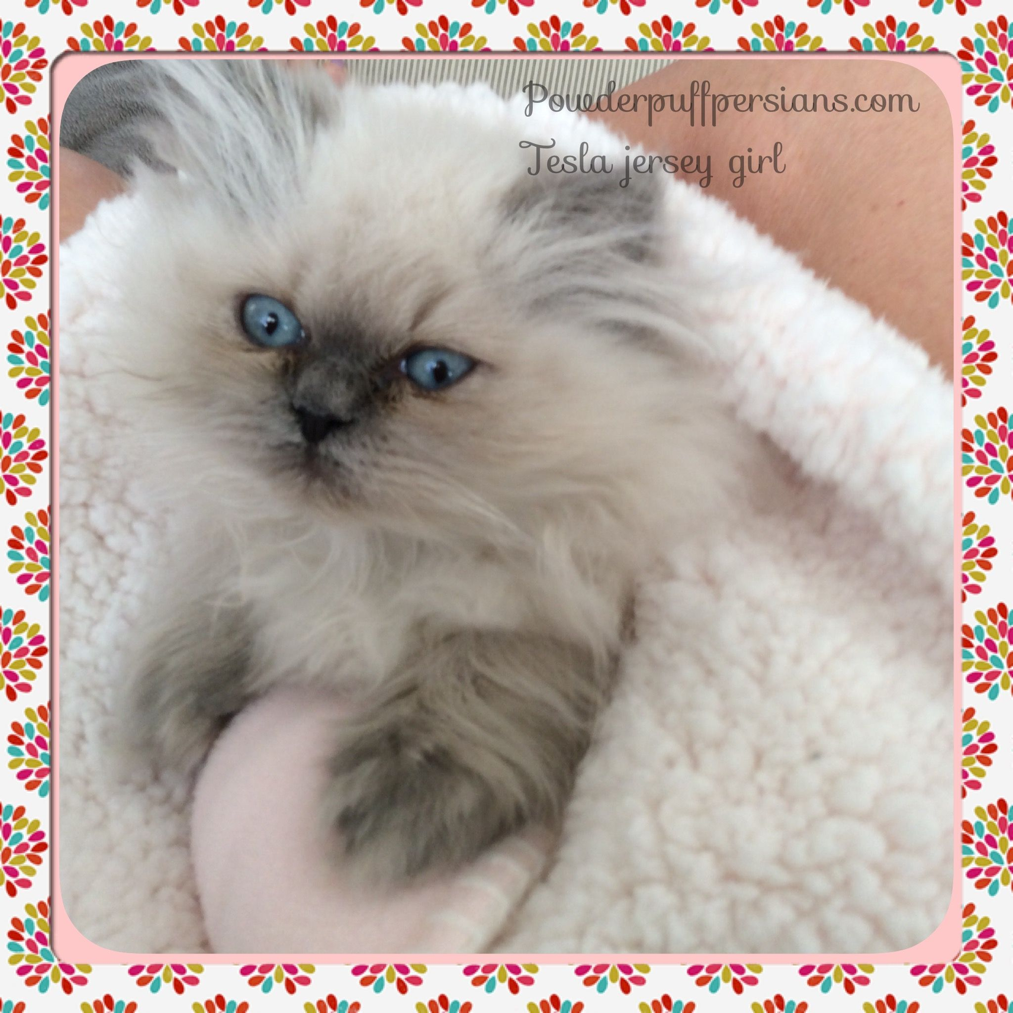 BLUE POINT HIMALAYAN Cute animals, Pets, Persian kittens