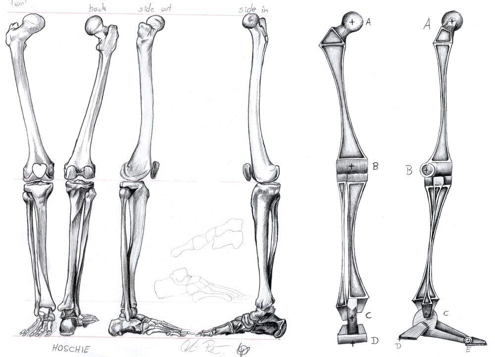 Image Result For Leg Skeleton Reference Anatomy Reference