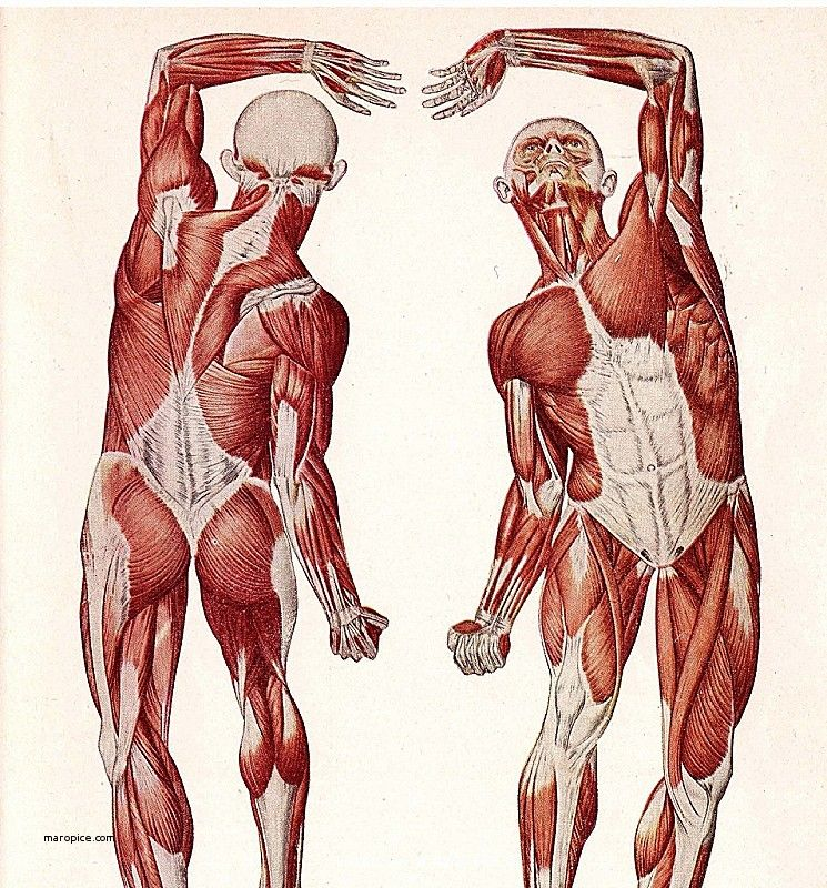 Human Anatomy: Human Female Anatomy Fresh Anatomy Muscle Female Back ...