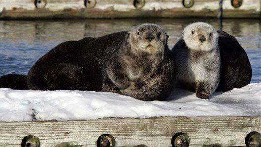 Alaska sea otters