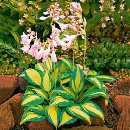 Schweden Funkie Catherine Pflanzen Schattenpflanzen Exotische Blumen