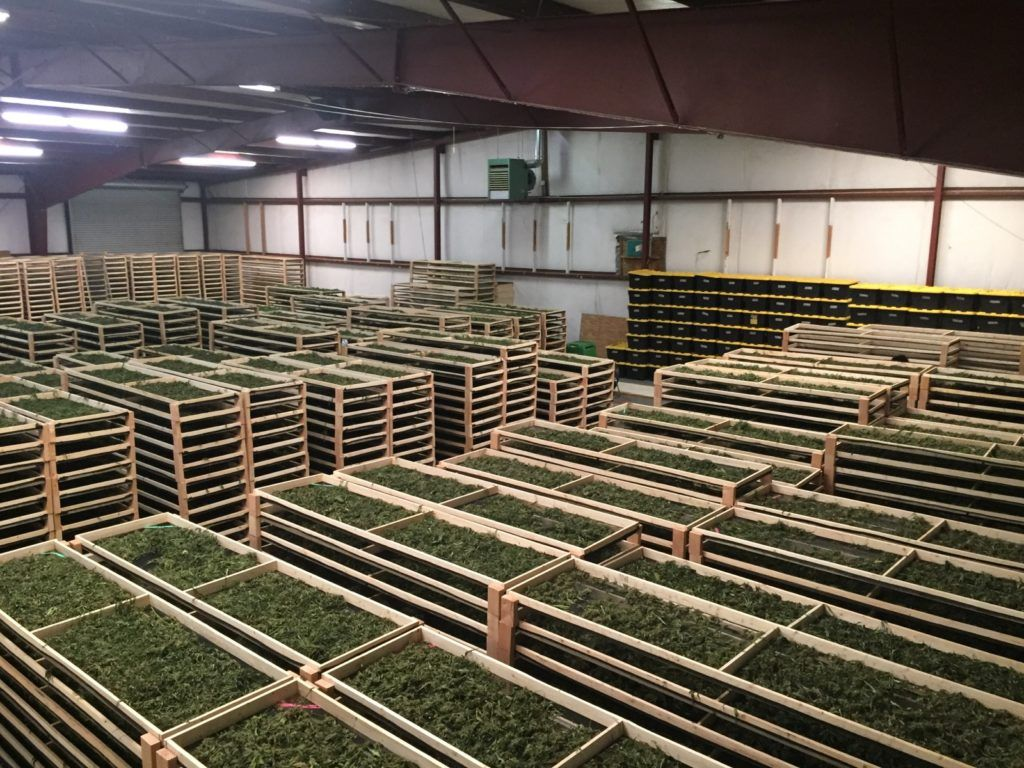 Controversy Erupts Around $10 Million Bust of Legal Marijuana Grow