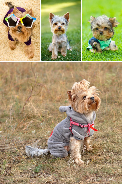 Terrier Puppies Yorkshire Terriers In 2020 Yorkshire Terrier Dog Terrier Puppies Yorkshire Terrier Puppies