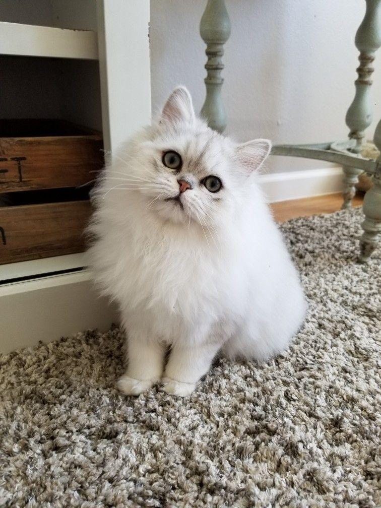 Chinchilla Silver Persian Persian cat doll face, Persian