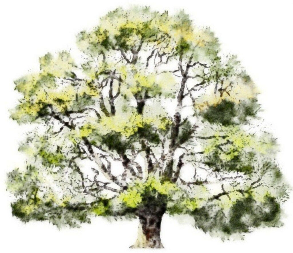 Watercolor rendering | trees | Pinterest | Watercolor, Sketches ... for Tree Drawing With Watercolor  29jwn