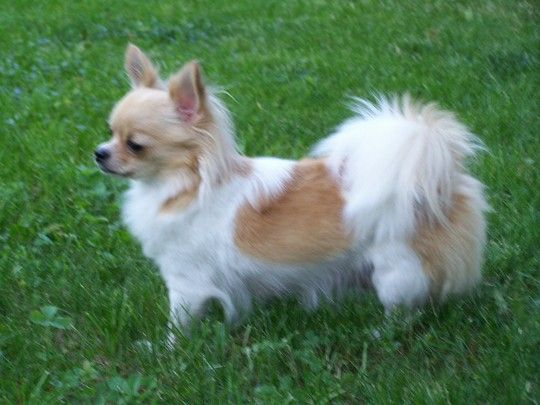 This Is A Possibility Chihuahua Puppies Long Haired Chihuahua