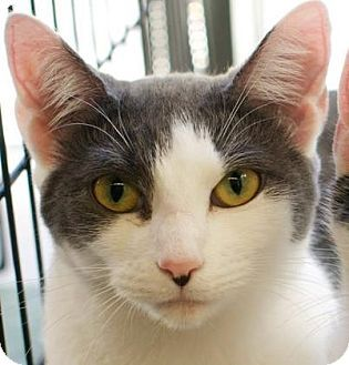Amherst Ma Domestic Shorthair Meet Chloe A Cat For Adoption Http Www Adoptapet Com Pet 11344450 Amher Cat Adoption Kitten Adoption Grey And White Cat