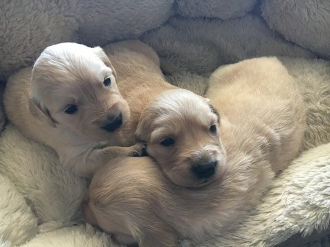 Litter Of 9 Golden Retriever Puppies For Sale In Denver Co Adn