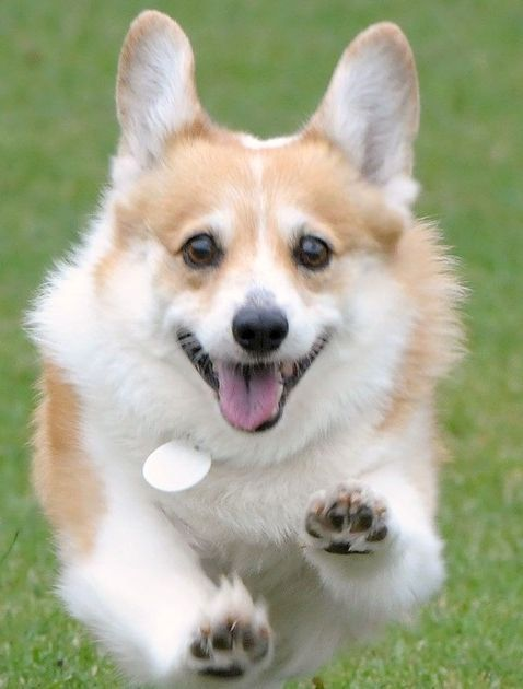 Corgis May Become Russia S Next Fearsome Police Dogs Corgi Dogs Celebrity Dogs