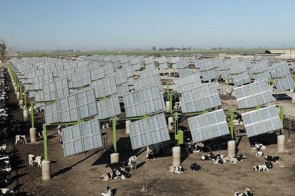 Solar Panels Shade Cattle In Win Win For Agribusiness Earthtechling Solar Farm Solar Energy Projects