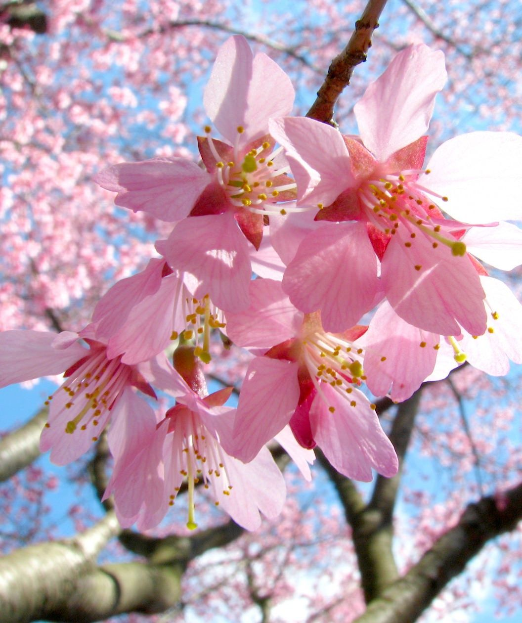 Okame Flowering Cherry Bower Branch Japanese Cherry Tree Cherry Blossom Festival Crabapple Tree