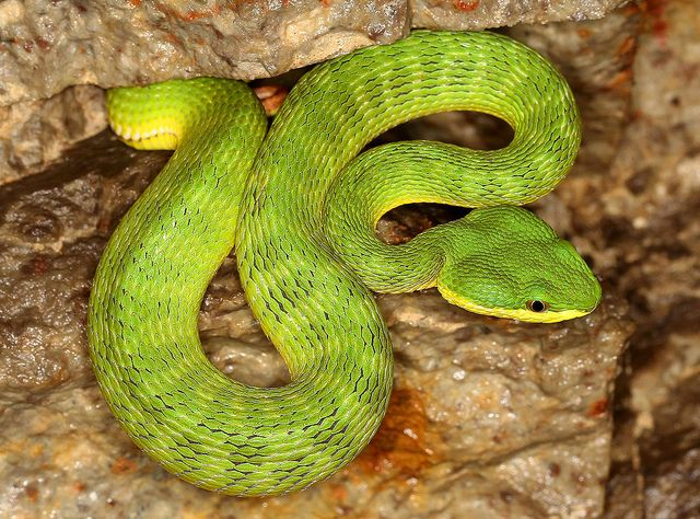 Bamboo Viper Trimeresurus Albolabris Flickr Photo Sharing Reptiles Snake Venom Snake Lovers