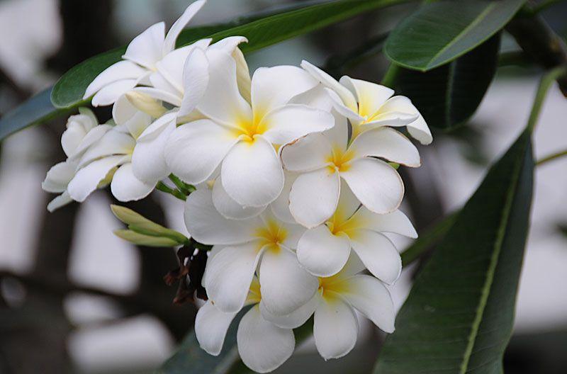Tropical Flower Plumeria Flower Plumeria Flowers Fragrant Flowers Plumeria