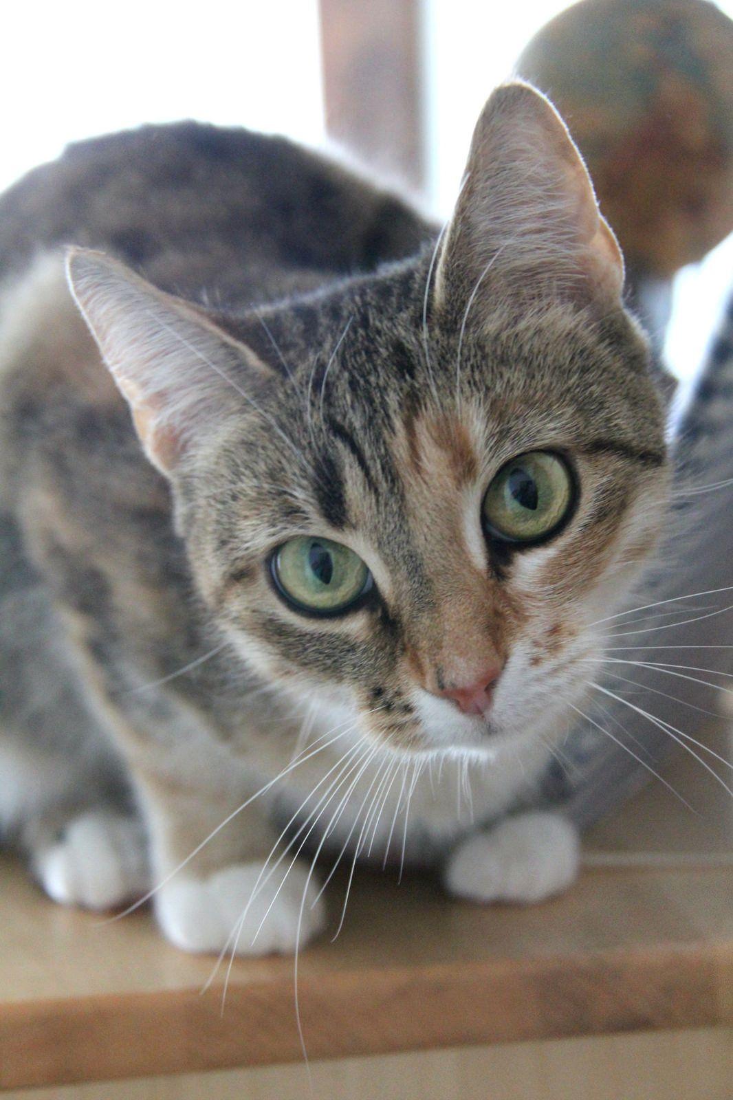 Varpu Varpunen 28 2 2016 rescue cat ex feral cat Twin sister of