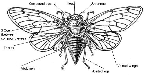 Pin On Cicadas