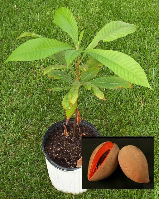 chico sapote tree yahoo image search results