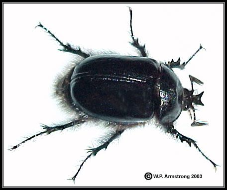 Black Rain Beetle  Creepy. Black Rain Beetle  Creepy   Bugs  Insects   Pinterest   Beetles