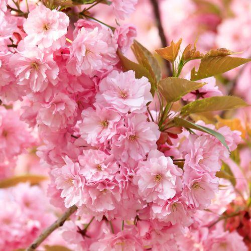 Flowering Cherry Kanzan Tree Cherry Blossom Flowers Cherry Blooms Pollinator Plants