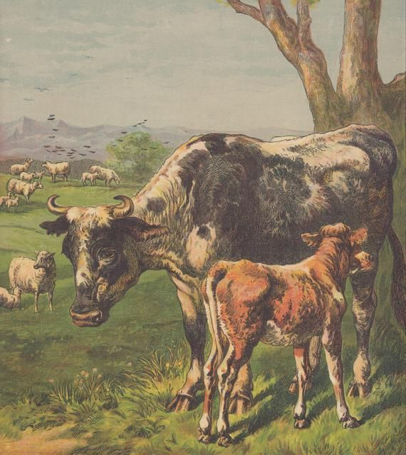 Cow with Calf in Sunny Green Pasture with Sheep Farm Animals Livestock Antique Lithograph Art Cow with Calf in Sunny Green Pasture with Sheep Farm Animals Livestock Antiq...