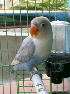 Pin On Budgies And Lovebirds