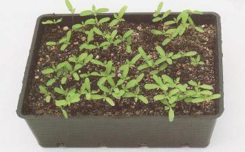 Conoce como cultivar un bonsai desde semilla explicado for Como cultivar bonsais