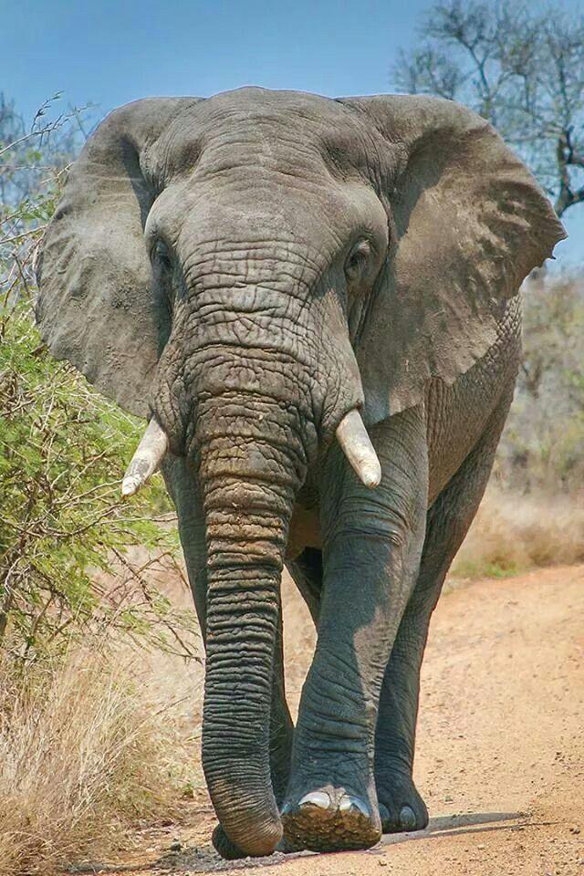 Pin de Donna en Elephants   Pinterest   Elefantes, Seres vivos y ...