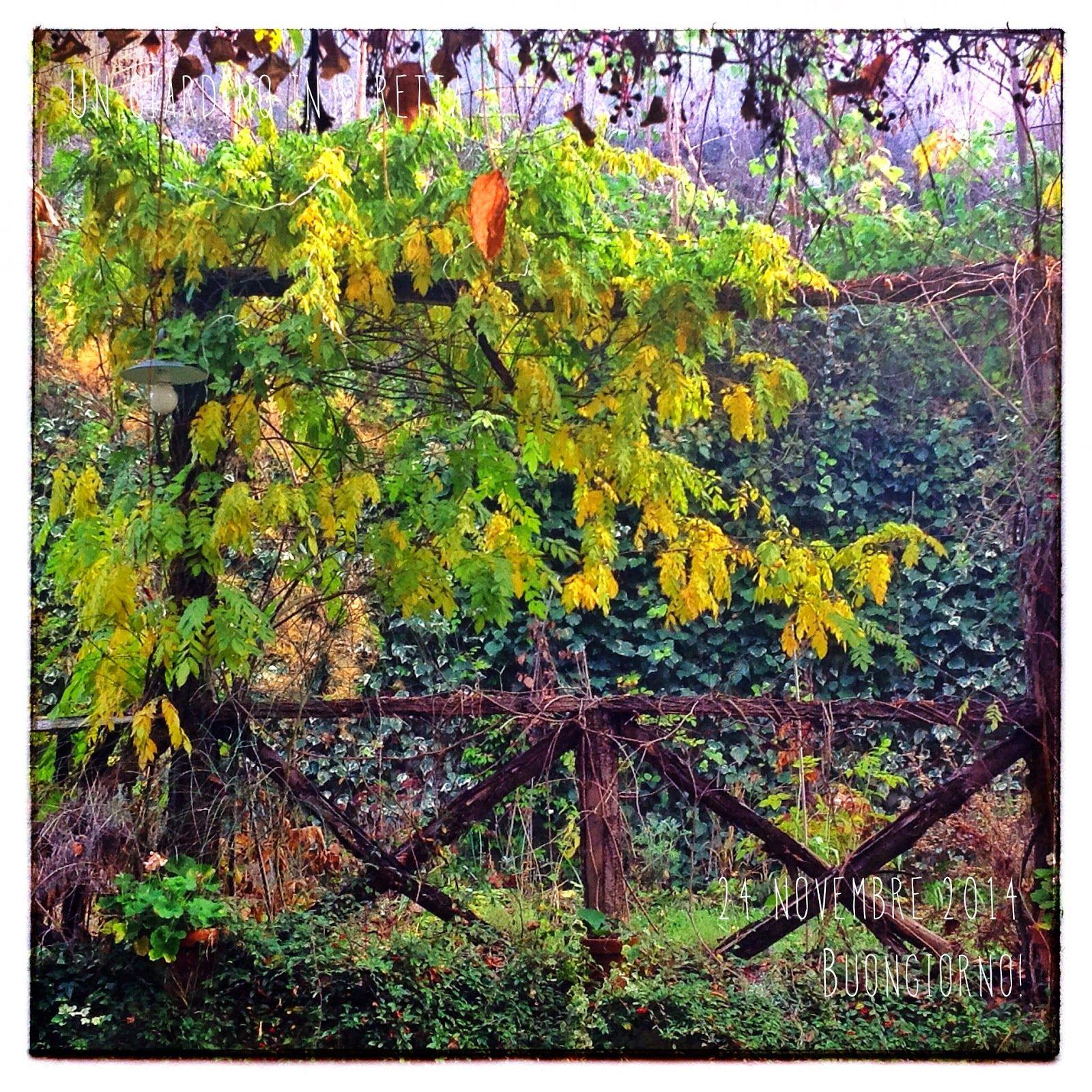 in diretta dal giardino: il glicine in giallo ( (Wisteria sinensis 'Alba')  Buongiorno giardinieri! #giardino #giardinoindiretta #autunno #foglie