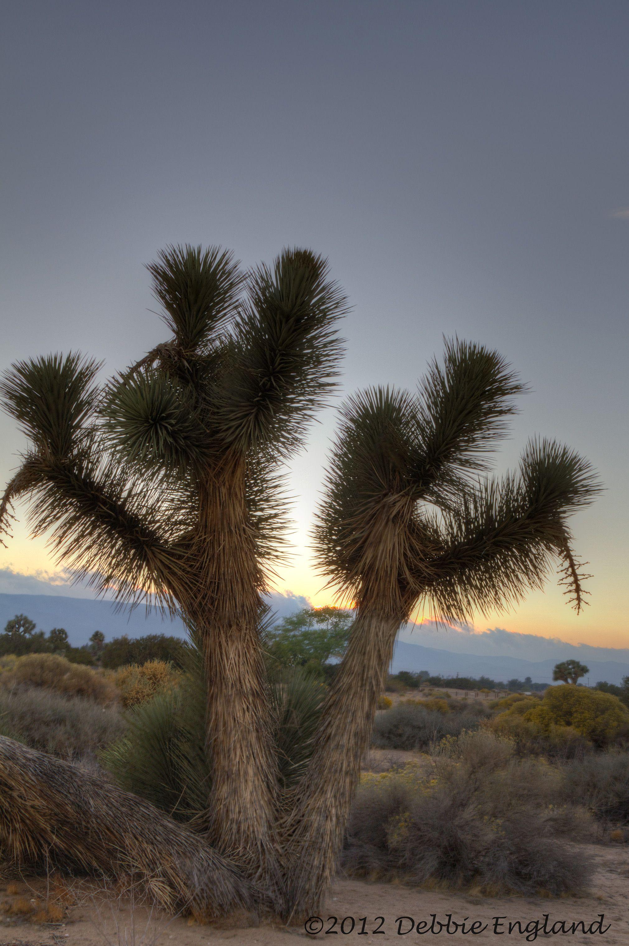 Joshua Tree-Mojave Desert (high desert)