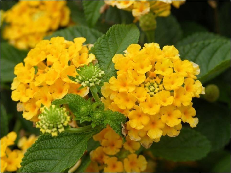 Lantana Nana Lantana Flowers Lantana Camara