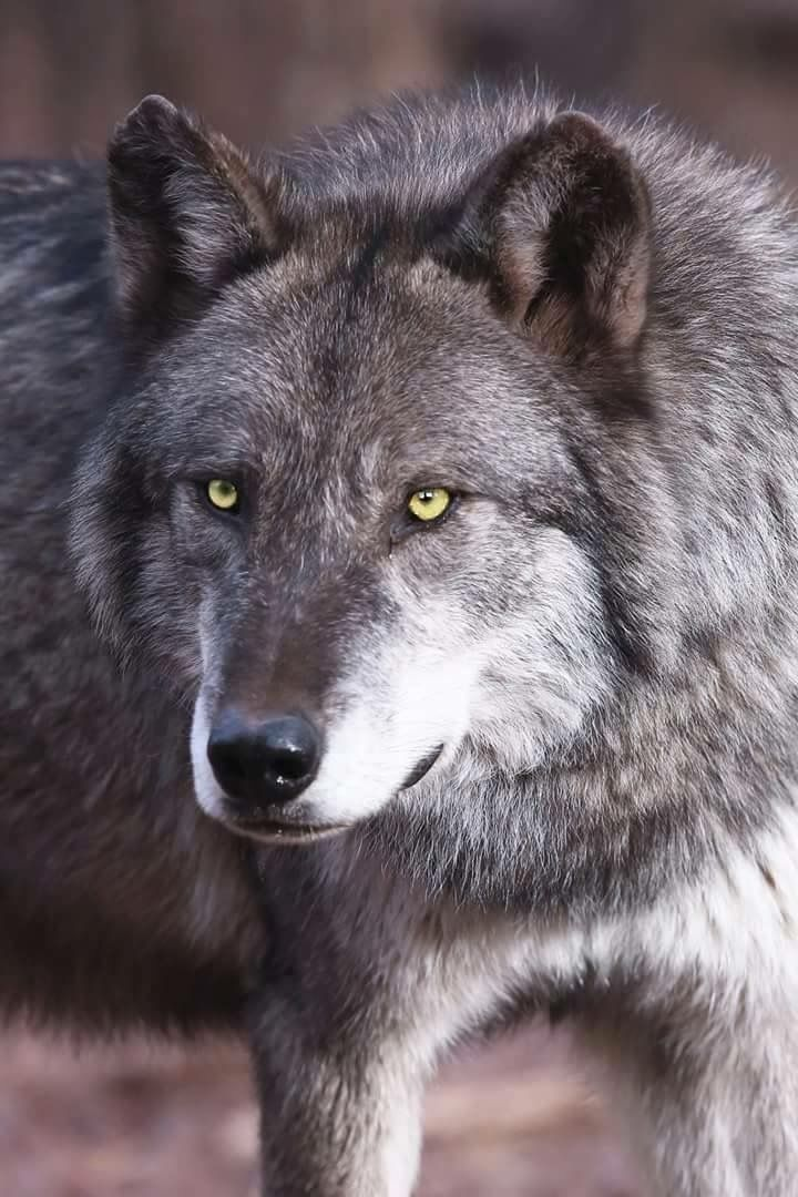 Galaxy Wolf Dog Indian Wolf Wolf Pictures