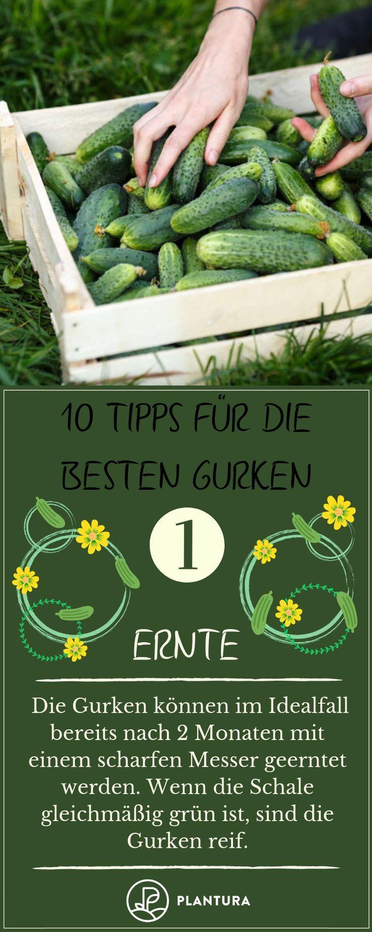10 Tipps Fur Die Besten Gurken Aus Dem Eigenen Garten Aus Besten Dem Die Eigenen Fur Garten Gurken Pflanzen Gurke Tomaten Pflanzen Garten Pflanzen