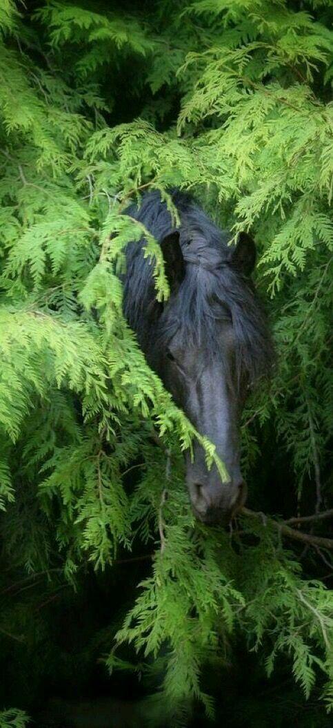 Pin by raya elings on horse cheval frison photographie questre beaux chevaux - Frison qui saute ...