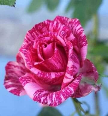 Pin By Fausto Lopez Espinoza On 1 A File General Beautiful Flowers Flowers Beautiful Roses