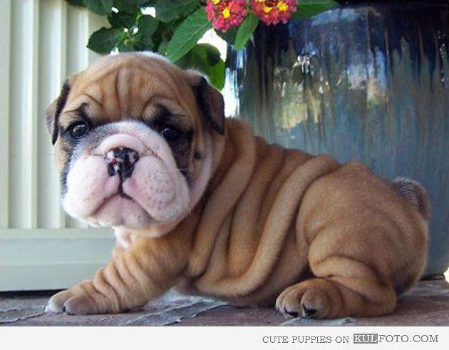 Cute Little Shar Pei Puppy I Like Him Because He Has Wrinkles