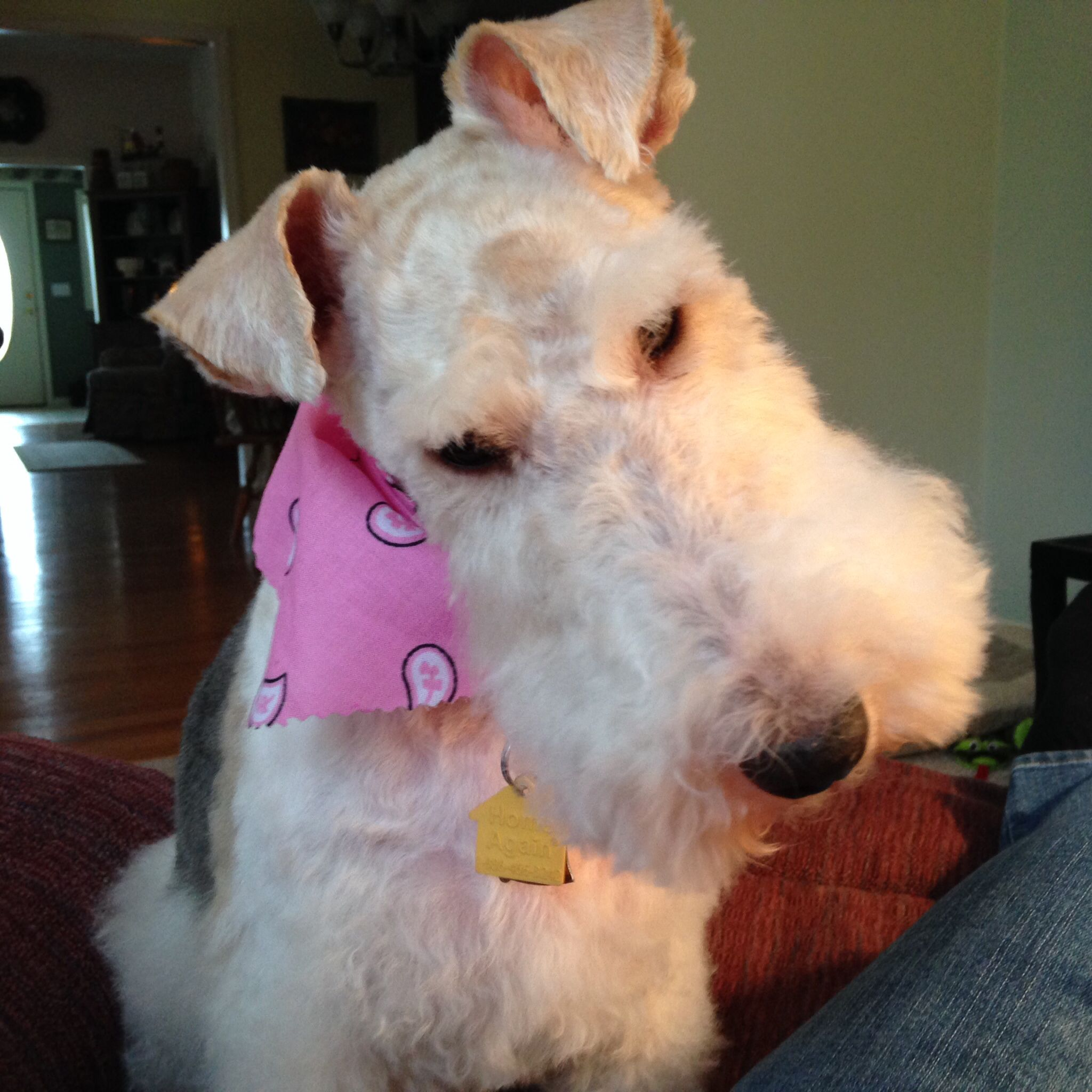 I was adopted from WFTRM. Wire Fox Terrier Rescue Midwest. They ...