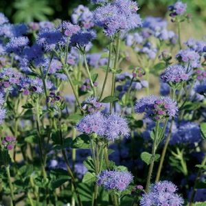 Blue Planet Ageratum Tall Annual Flower Clusters Of