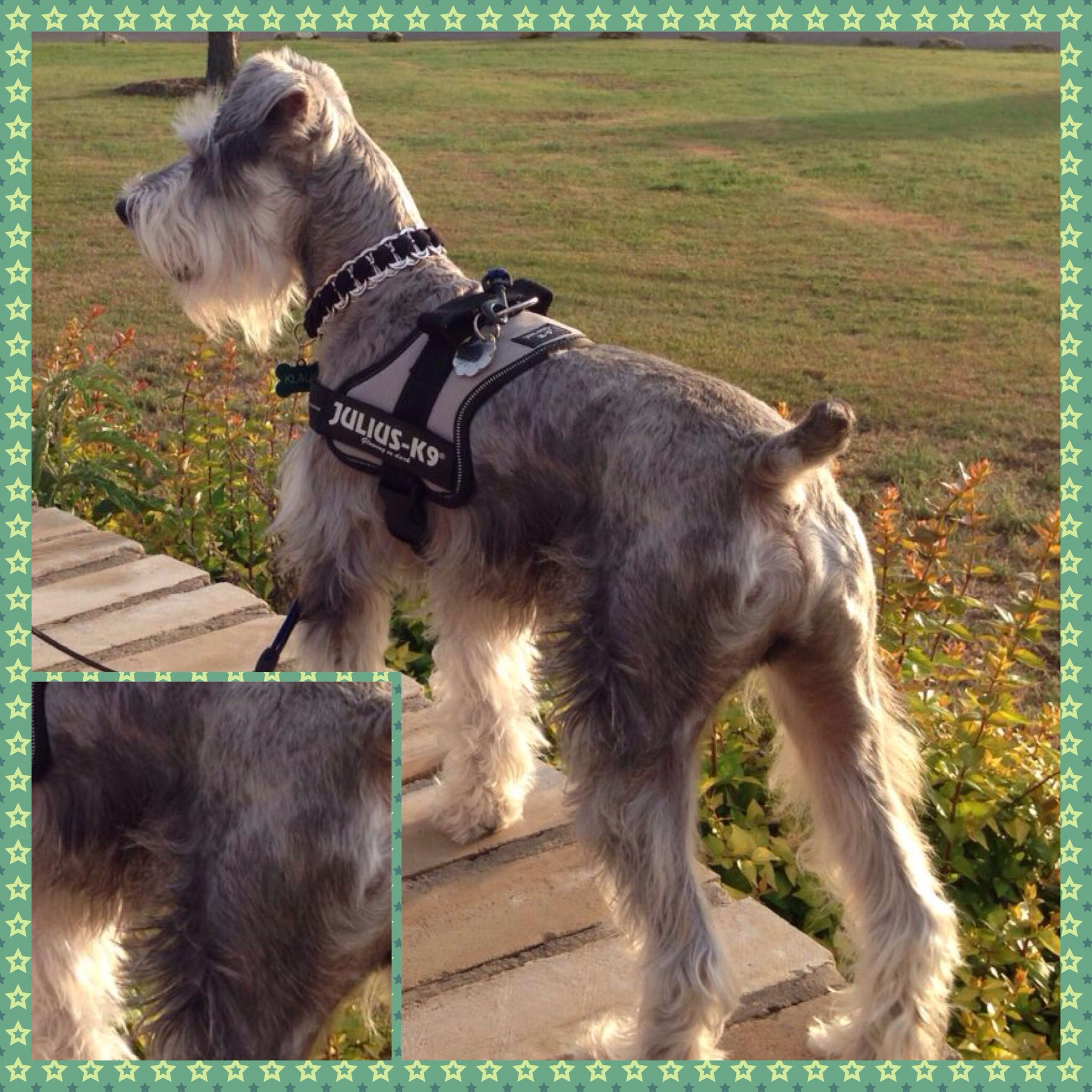 Pin By Catherine Engstrom On Schnauzer Love Mini Schnauzer Puppies Schnauzer Puppy Giant Schnauzer