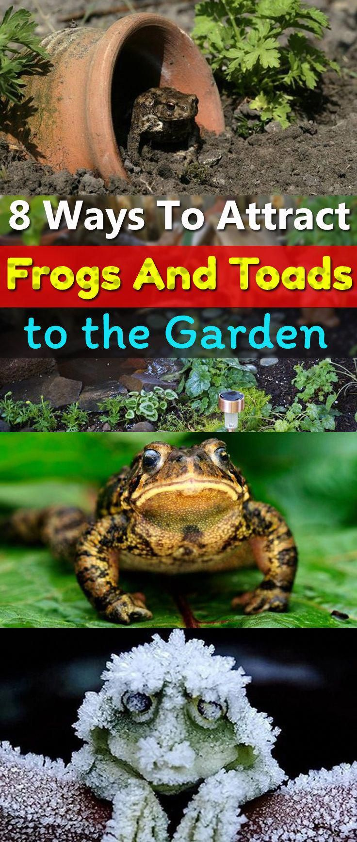 Attract toads and frogs to your garden to keep the garden
