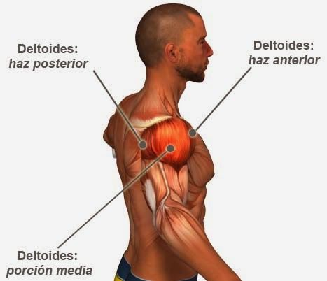 Músculos hombros | Gim | Pinterest | Músculos