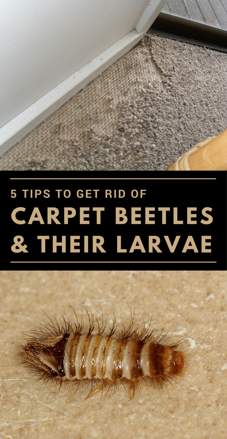 How To Get Rid Of Black Beetles In My House