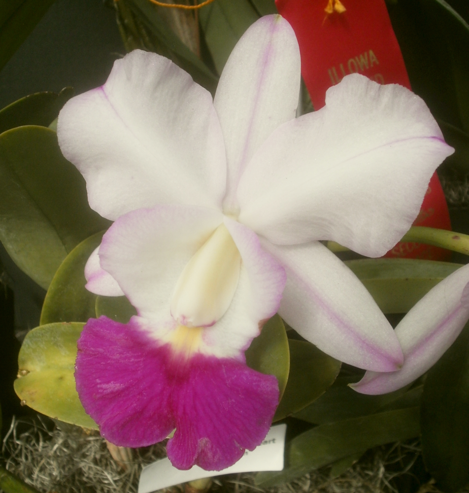 Plants are the strangest people - Plants Are The Strangest People Pretty Picture Cattleya Crownfox Sweetheart Perfection