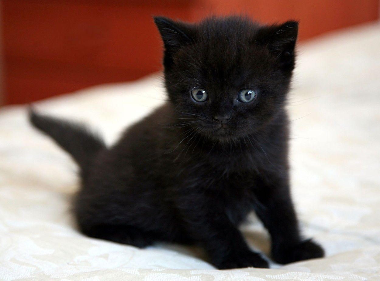 Black American Shorthair Cat Personality and Health