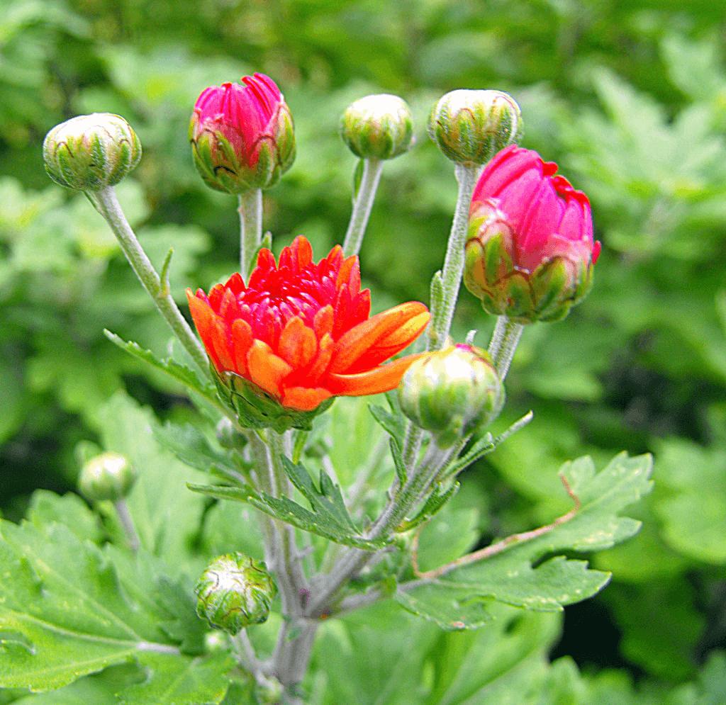 Pin On Chrysanthemum Flower