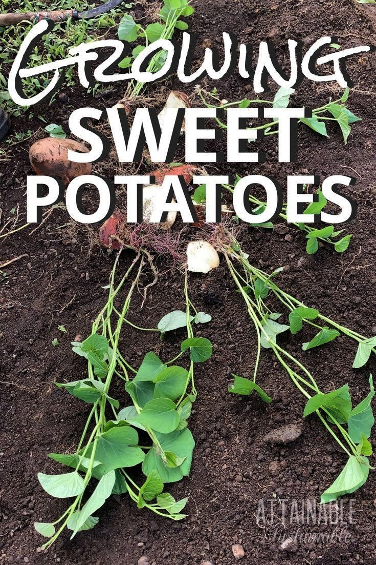 Sweet Potatoes for a Healthy Backyard Harvest  The trick to growing sweet potatoes in your vegetable garden is to start early so youll be ready Growing Sweet Potatoes for...