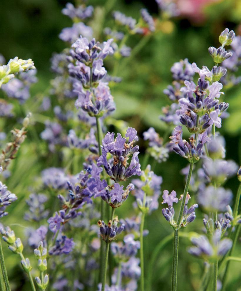Jos tahdot tuoksuvan puutarhan, valitse nämä kasvit
