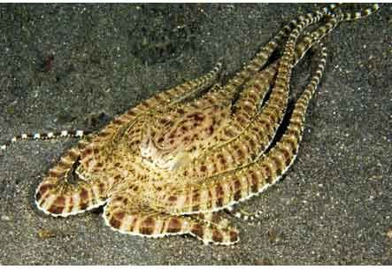 The amazing mimic octopus