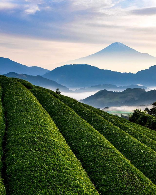 Tea Plantation & Mt. Fuji, Shizuoka, Japan, Travel