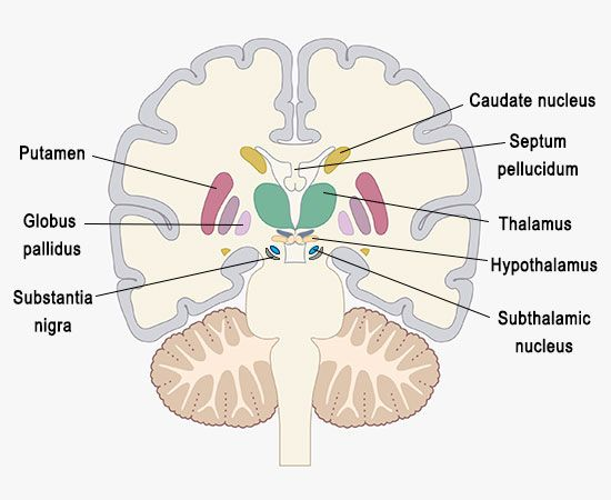 Structure and function of the nucleus accumbens explained in detail nucleus accumbens ccuart Images
