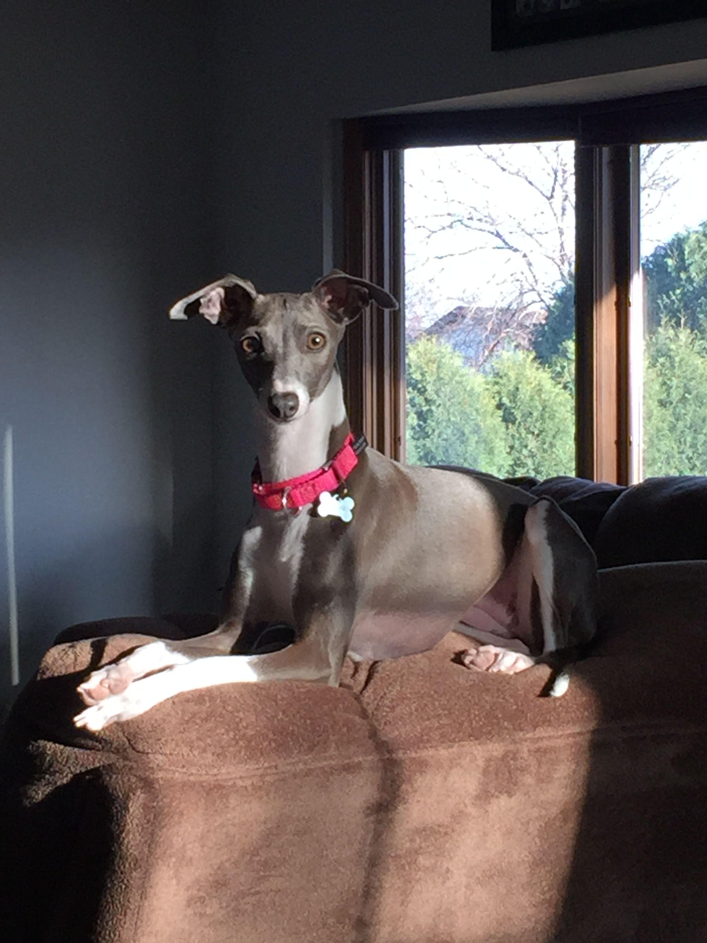 Italian greyhound because people suck